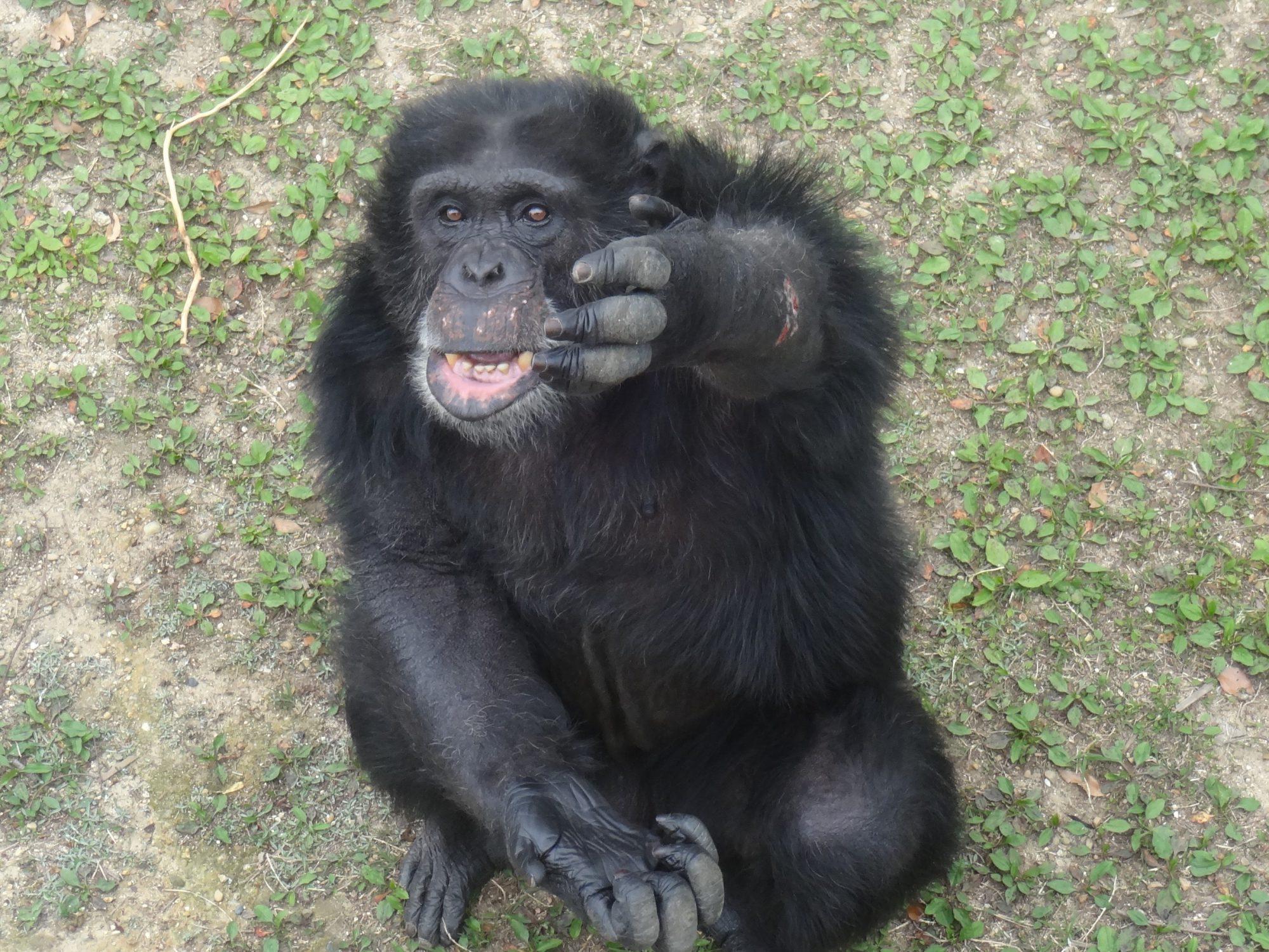チンパンジーブログ①