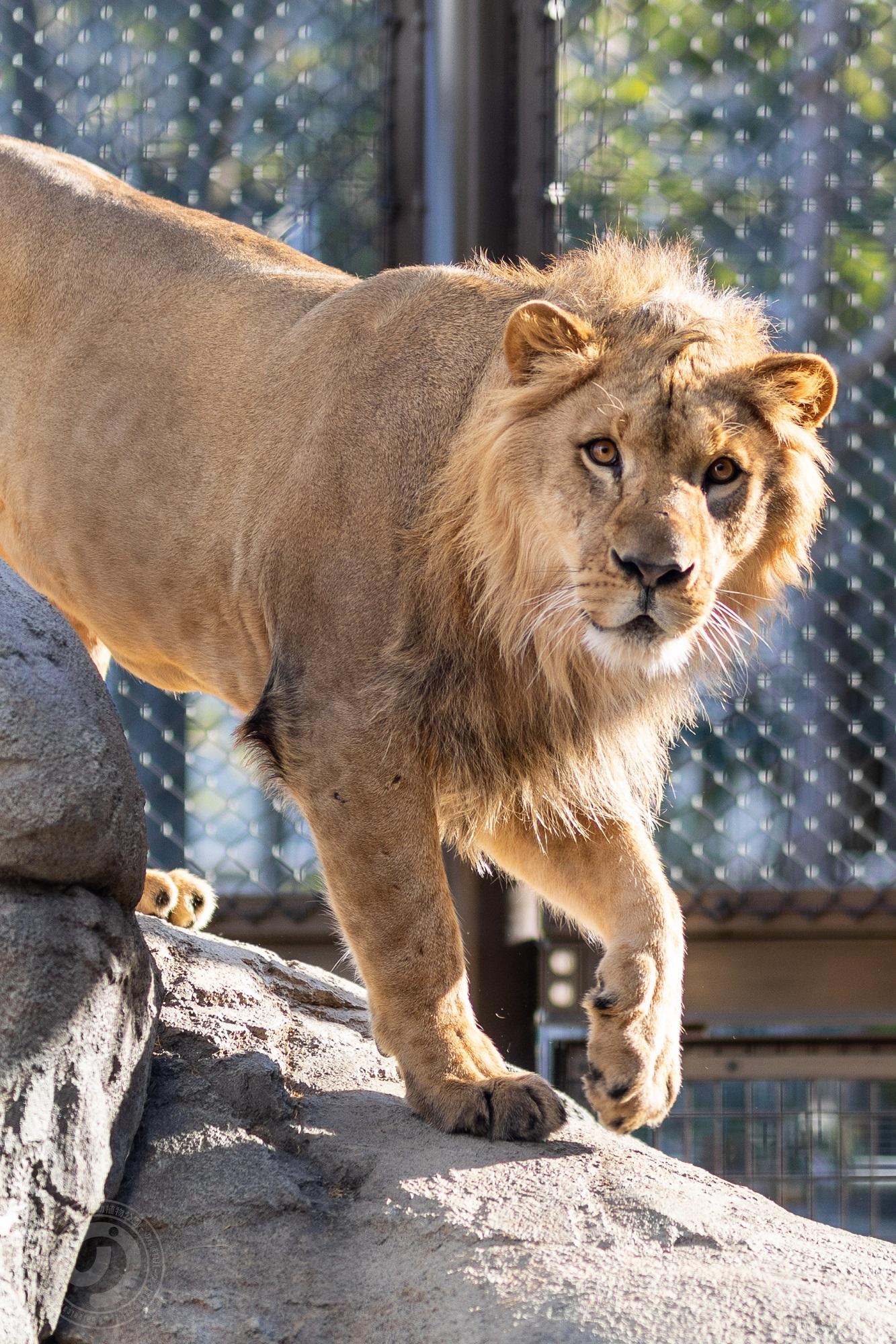 ライオンが岩を降りてくる様子