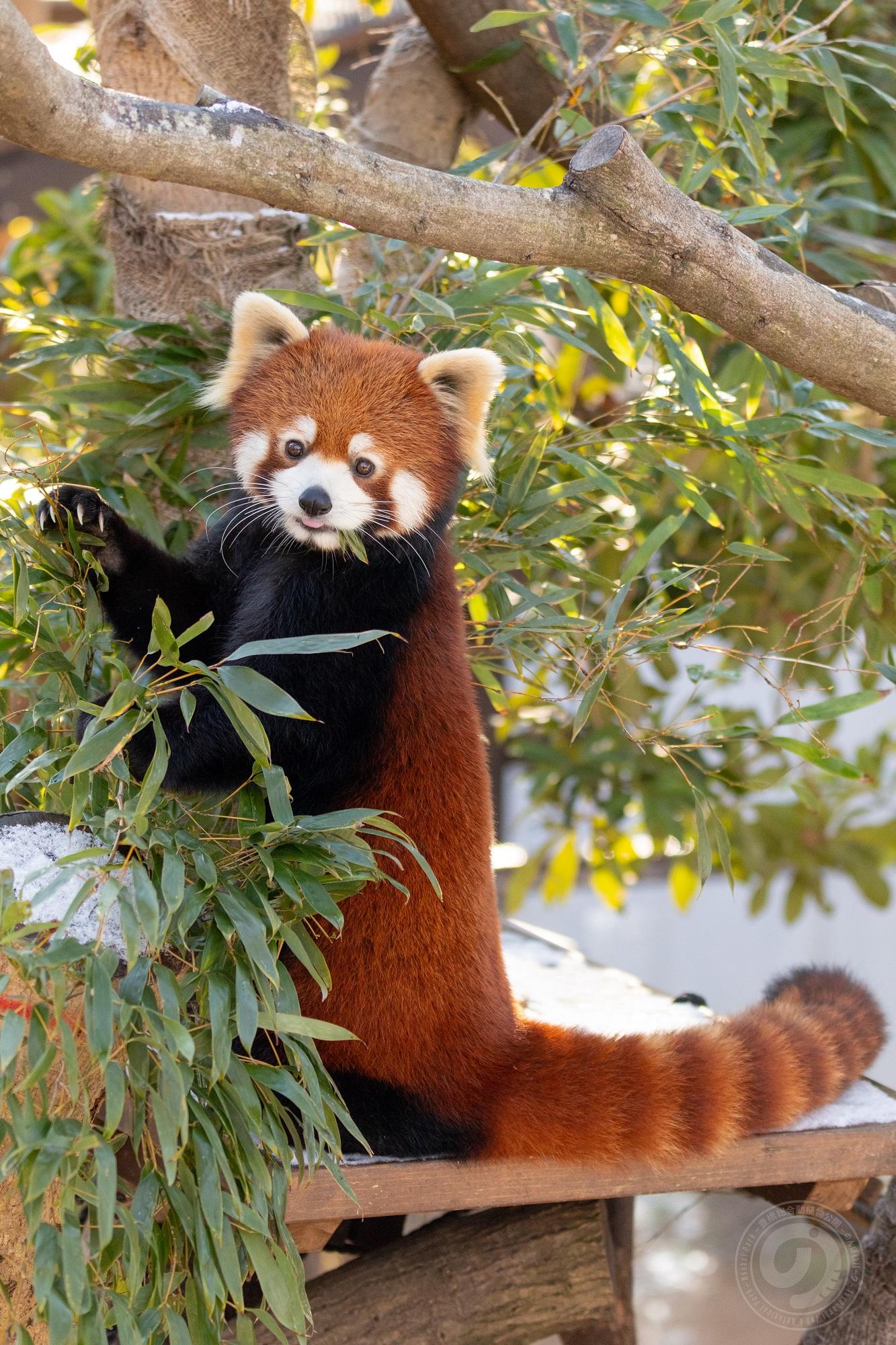 笹を食べているレッサーパンダの様子