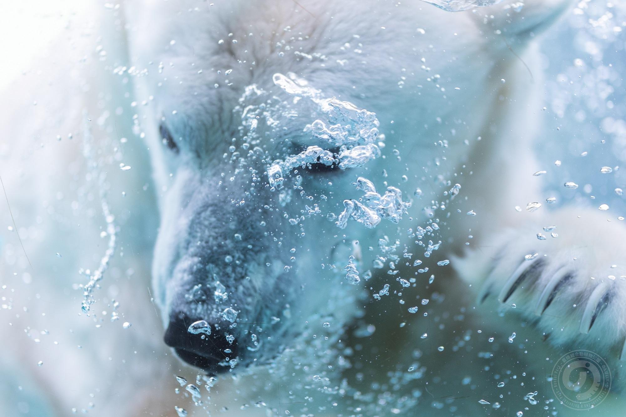 シロクマが冷たい水の中に飛び込んている様子