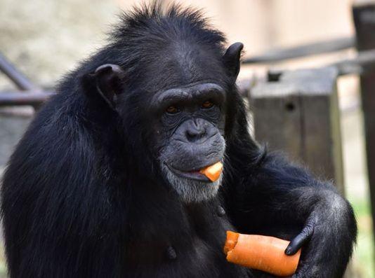 チンパンジーブログ⑤
